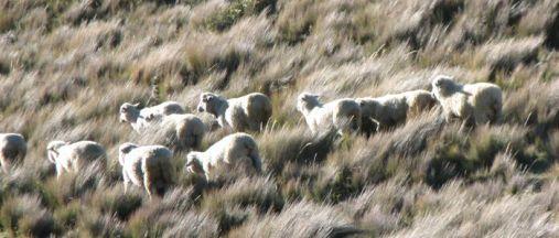 Schafweide in Ecuador