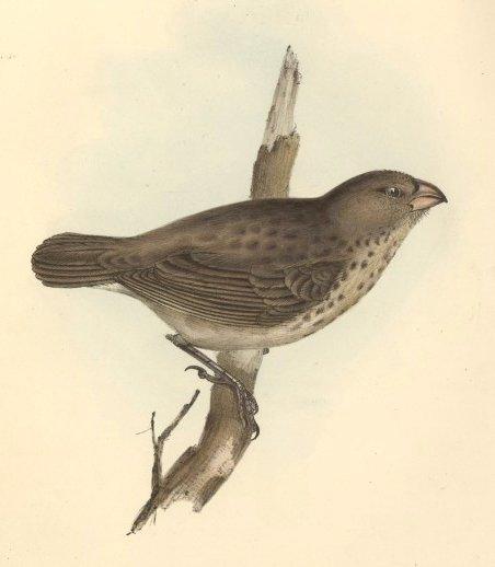 Camarhynchus_crassirostris1